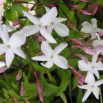 Moorish-jasmine
