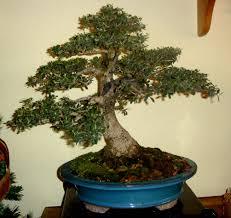Wild olive tree Acebuche